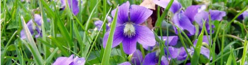 violets_4-06.27150948_std