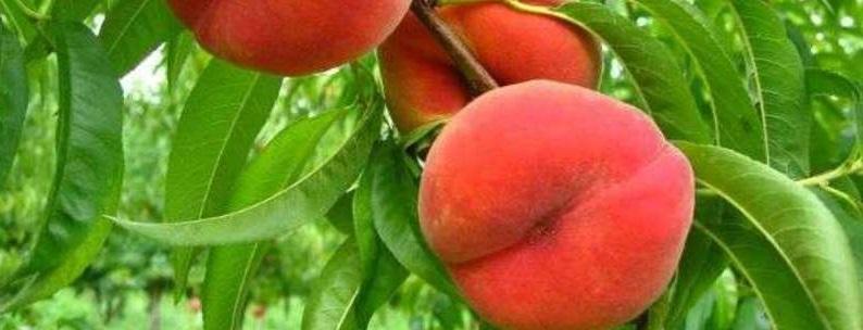 varenie-iz-persikov