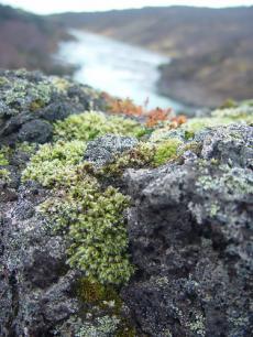 islandskii-mox