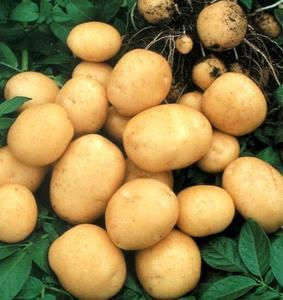 kartofel1