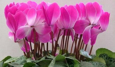 цветы-цикламен-домашний-выращивание-цикламена
