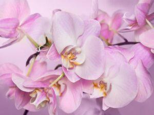 orhideya-legato-babochka-600x450